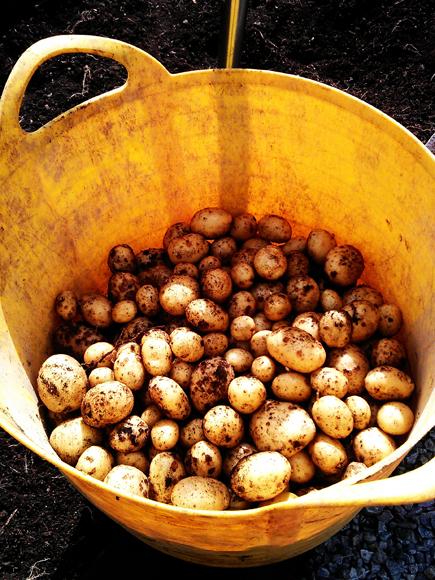 Our potato harvest]
