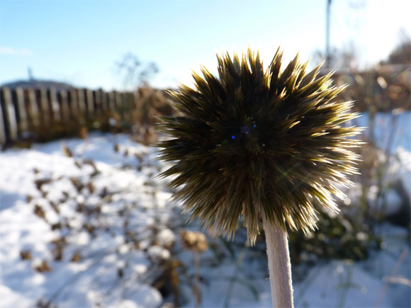 Echinops looks stunning in a winter garden
