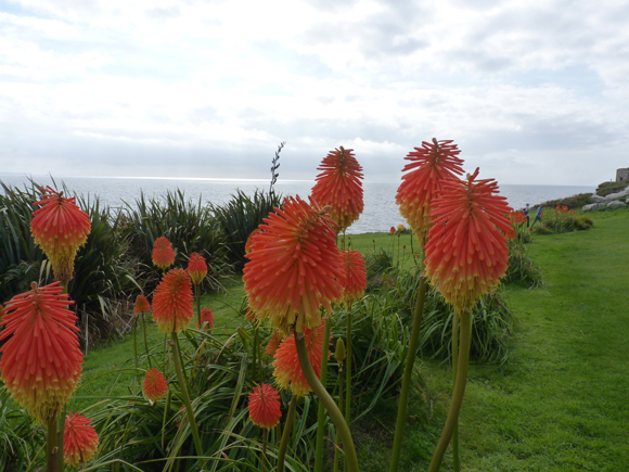 Kniphofia rooperi make a statement as you walk round to the gardens