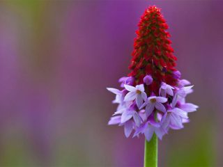 The beautiful Primula vialii