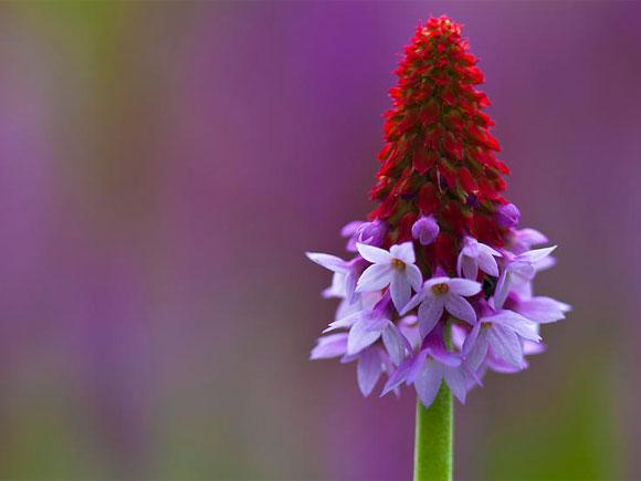 The beautiful Primula vialii