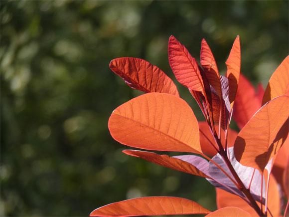 Cotinus catching the autumn sun...