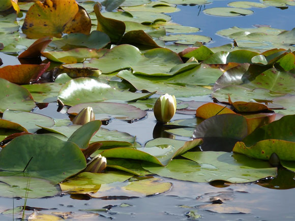 Masses of water lilies...