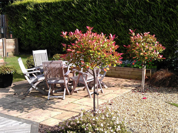 Standard photinias frame the entrance to the patio and form a focal point at the end of the path