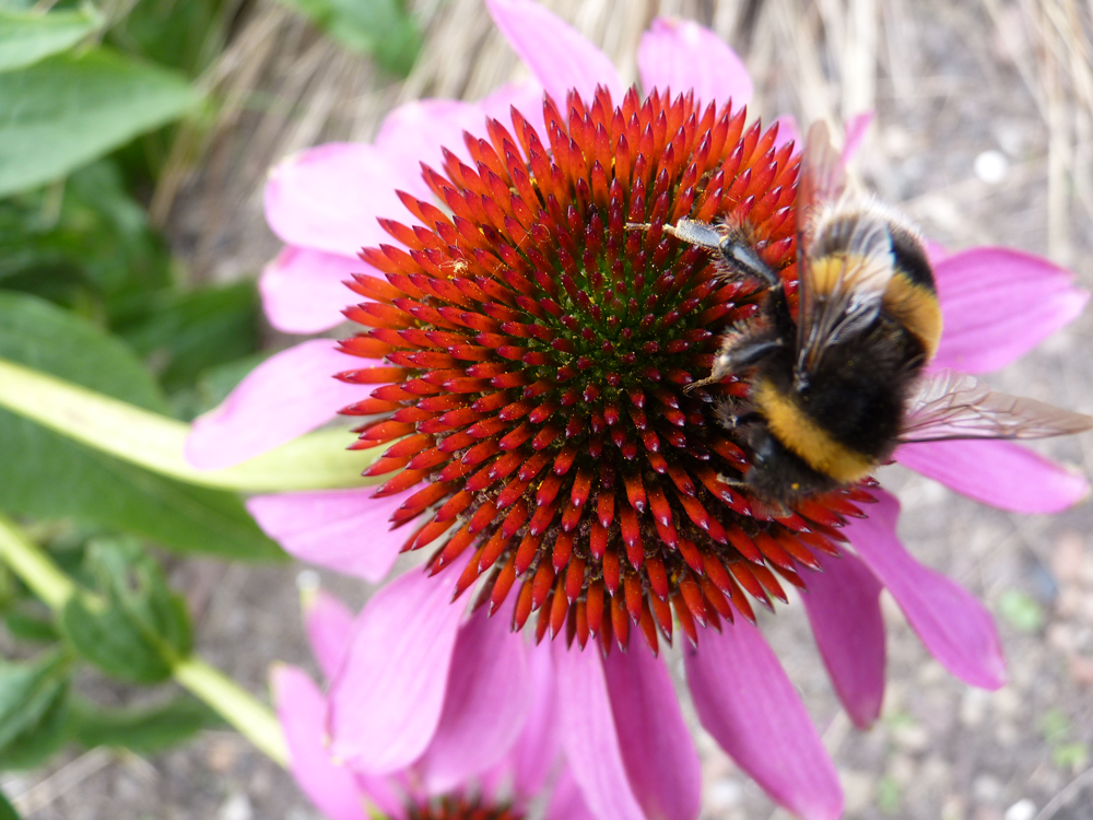 Echinacea is popular with bees