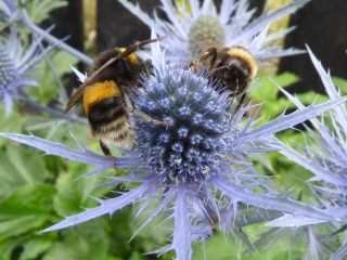 Bees on eryngium