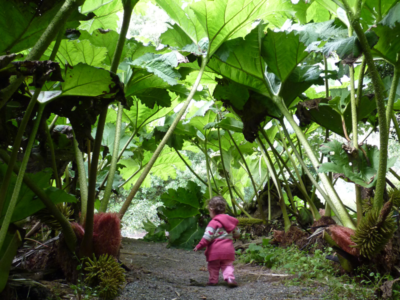 The gunnera jungle is a great place to explore