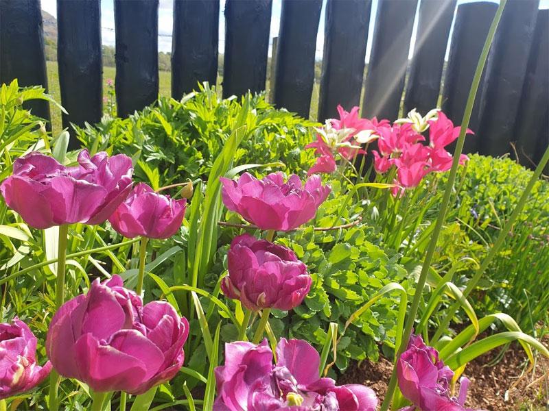Beautiful tulips in the sunshine