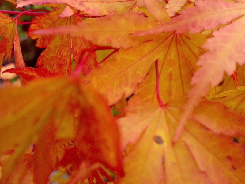 Acers can provide beautiful colour in the garden