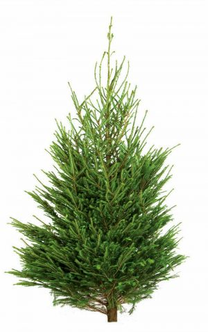 The choice for scent - the Norway Spruce