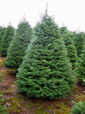 If you can find one, the Noble Fir is a great choice