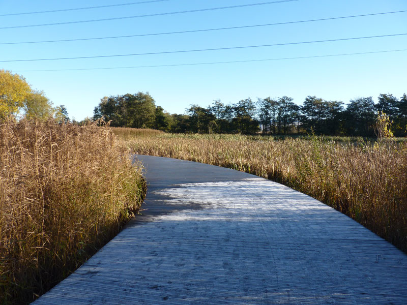 The boardwalk through the reeds