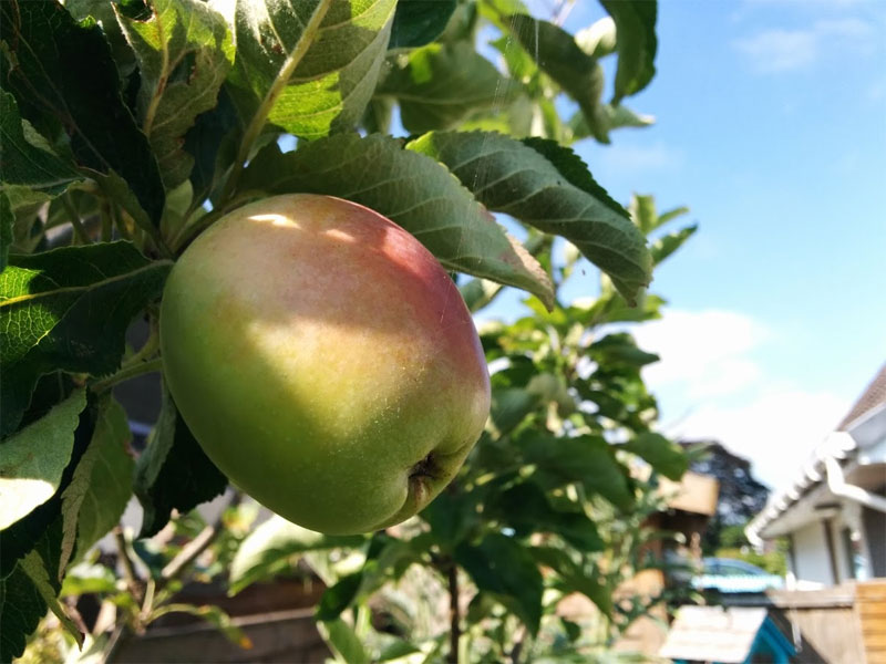 Winter is the perfect time to prune apple and pear trees