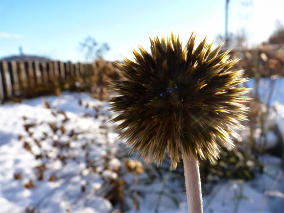 Echinops, still looking wonderful in winter