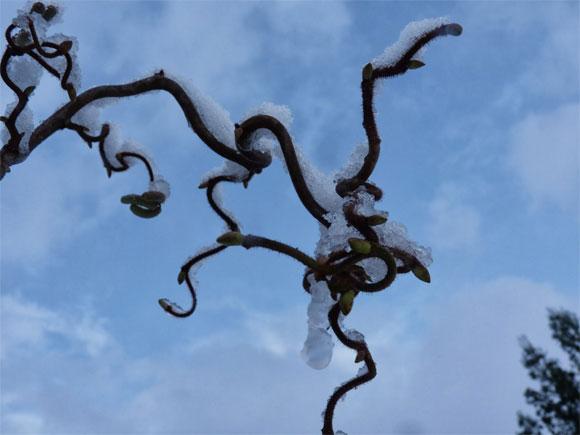 The contorted hazel provides a magical feel to a winter garden