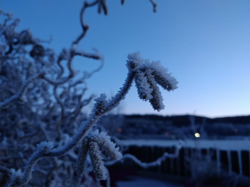Corylus contorta comes to life in winter
