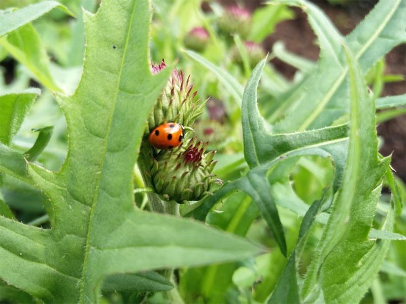 A ladybird in our garden