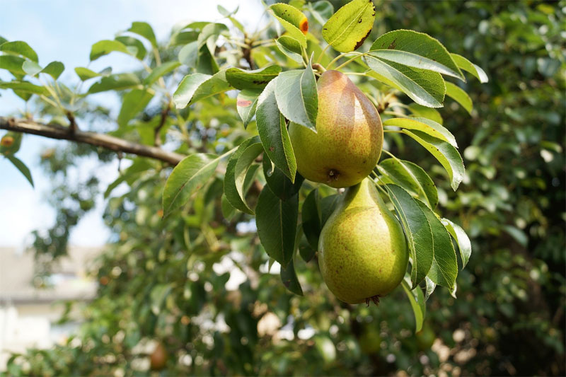 A little bit of time spent on your apple and pear trees just now will allow you to reap the benefits next year