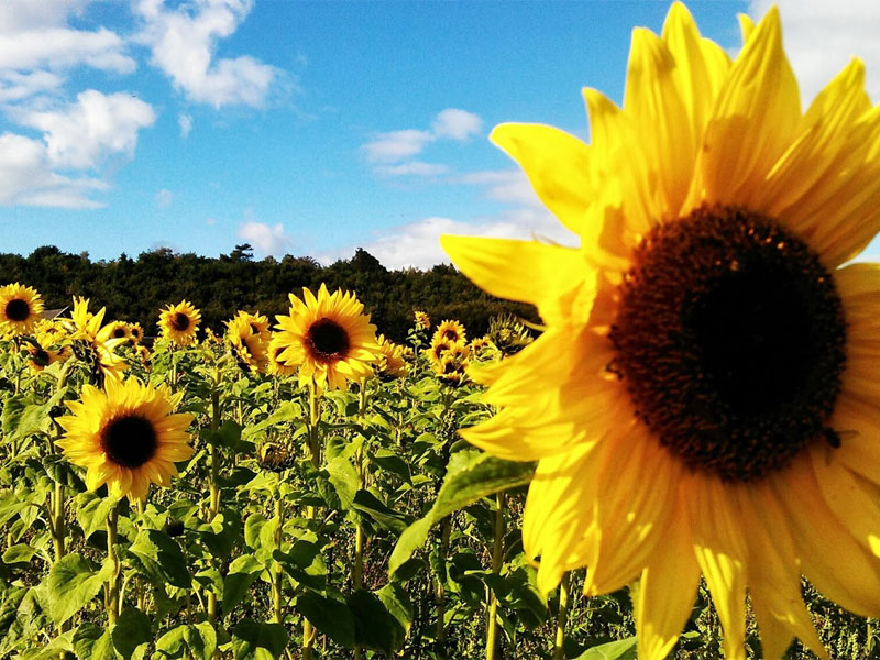 Is there anything as cheery assunflowers on a sunny day?