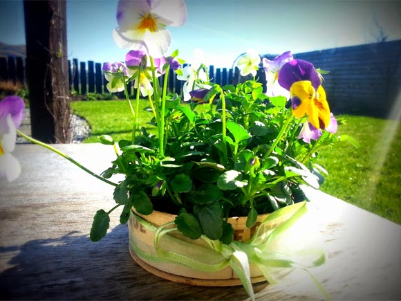 Pansies in cheese boxes makes a lovely gift