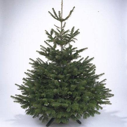 Scots pine, a native option