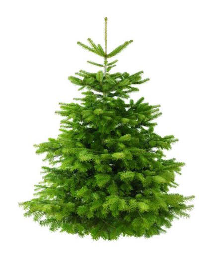 The Nordmann Fir is the most popular in UK