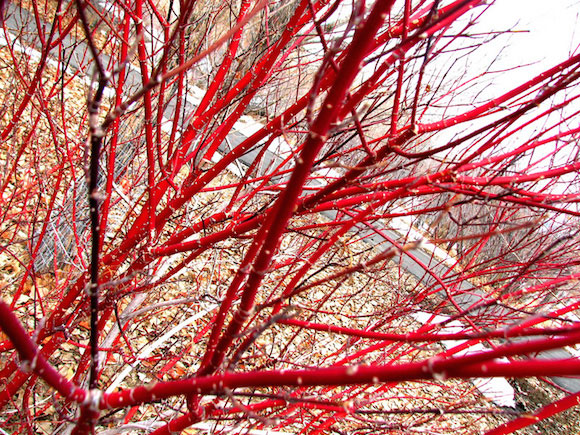 Red Dogwood (cornus alba)