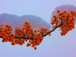 Pyracantha with a snow halo