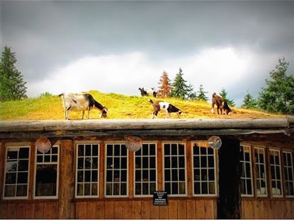 Goats on roofs!
