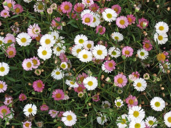 Pretty erigeron