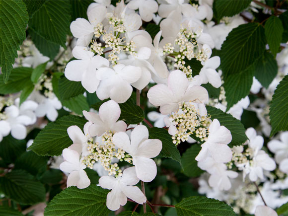 Flower of the year at Chelsea Flower Show 2015, Viburnum Kilimanjaro Sunrise