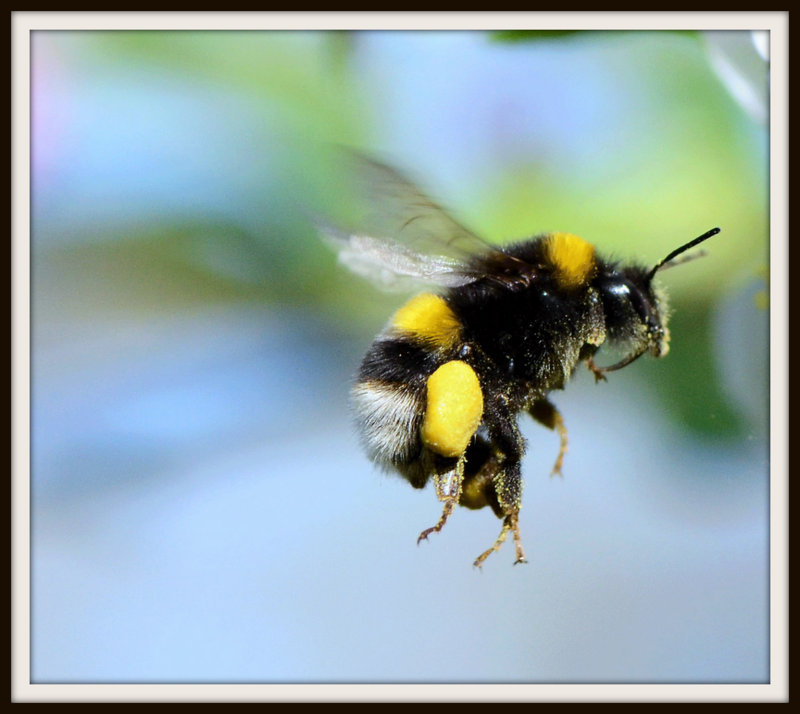 Their really, really big chest and heaps of food mean bumblebees can fly