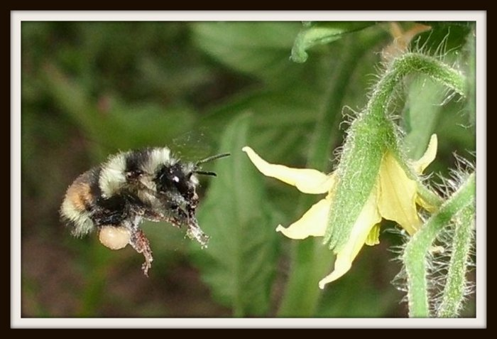 A bumblebee about to have a meal in a flower so that we can have some tasty tomatoes