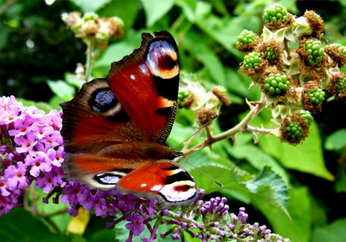 This peacock butterfly prefers buddleia flowers over blackberries