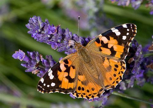 This painted lady butterfly looks as pretty as her name