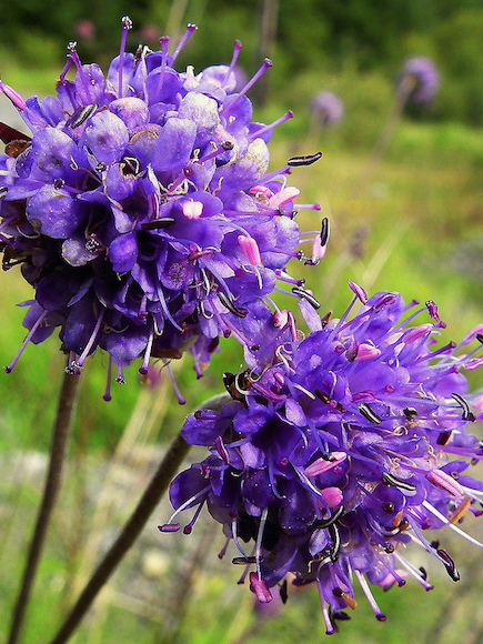 Autumn flowering Devil's-bit scabious provides nectar for late-season insects