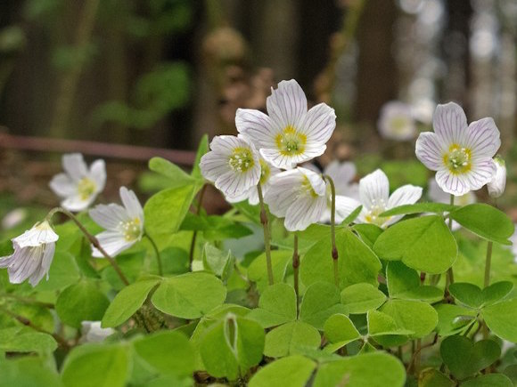 Wood sorrel looks very pretty and the leaves are lovely and lemony