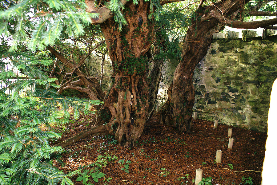 The Fortingall Yew is the oldest tree in the UK