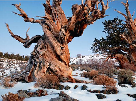 Could this Californian bristlecone pine be the oldest tree in the world?