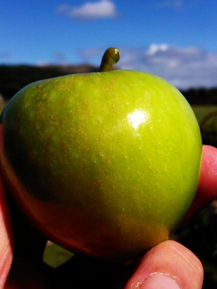 One of our home grown apples