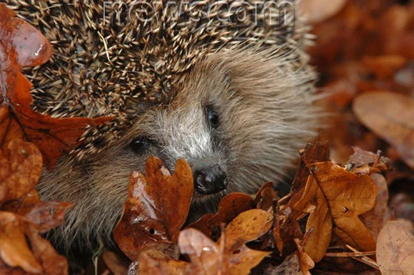 A pile of leaves is a perfect hotel bed for a hedgehog