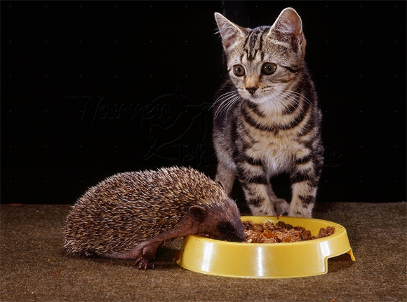 Ha ha, Fudge would be just as perturbed as this kitty at a hedgehog eating her cat food!