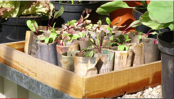 Newspaper pots can be planted straight into the ground