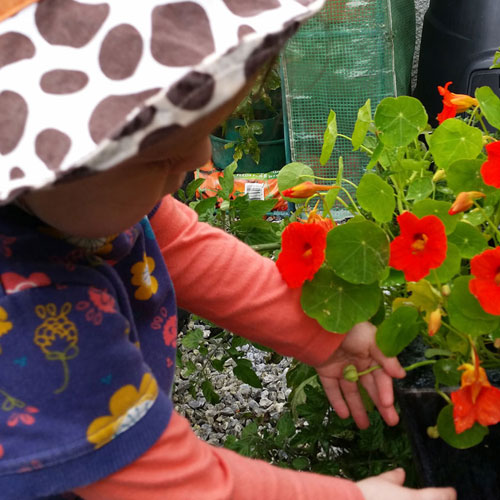 Nasturtiums are easy to grow and taste and look great