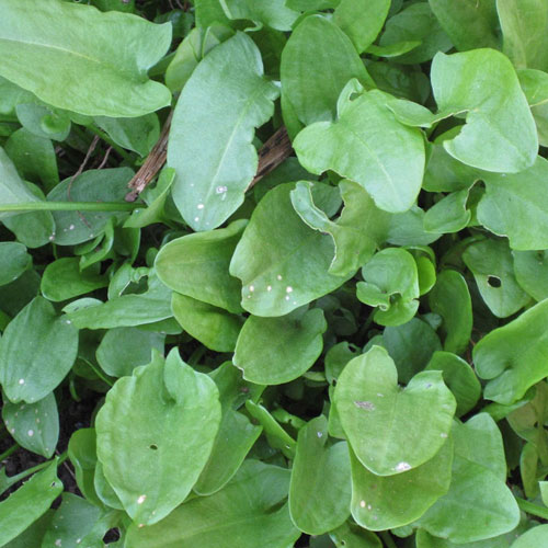 Sorrel is easy to grow but not as easy to buy