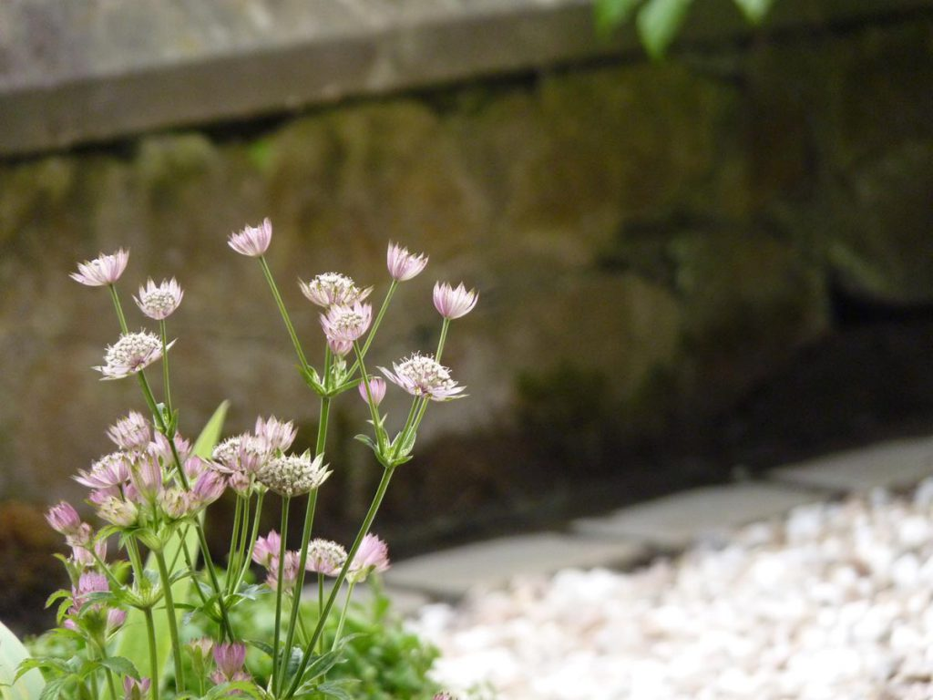 Pretty astrantia