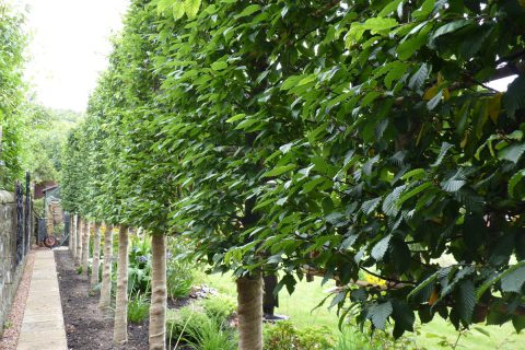 Pleached hornbeam is a great boundary
