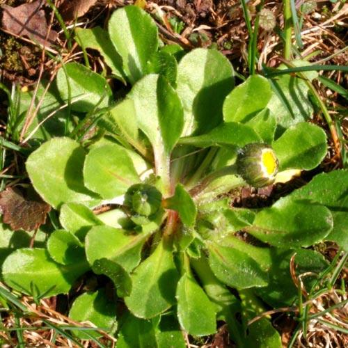 daisy-leaf