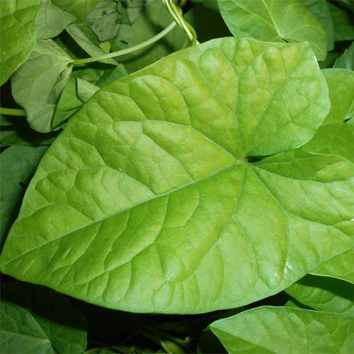 Bindweed leaf