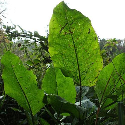 dock-leaf